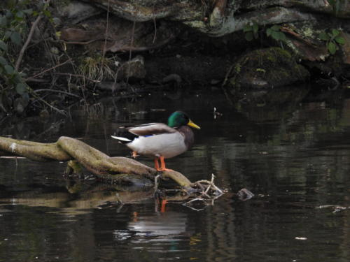 Duck on Leeds/Liverpool Canal