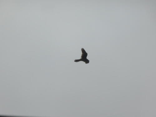 Stoodley Pike Hike: Hawk hovers above fields