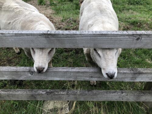 Bradford Millennium Way: Sheep at Birch Close Farm
