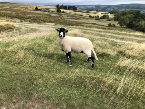 Bradford Millennium Way: Sheep on Baildon Moor