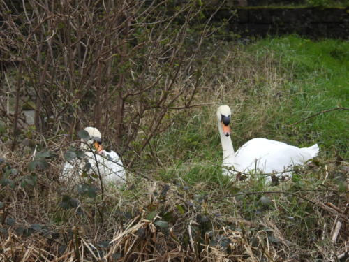 Swans on the Leeds/Liverpool Canal